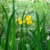 Walton's Water Iris