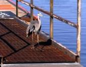 Injured Great Blue Heron